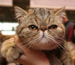 Exotic shorthair brown tabby